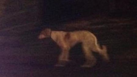 The saluki that has been seen romaing around Leverington and Wisbech