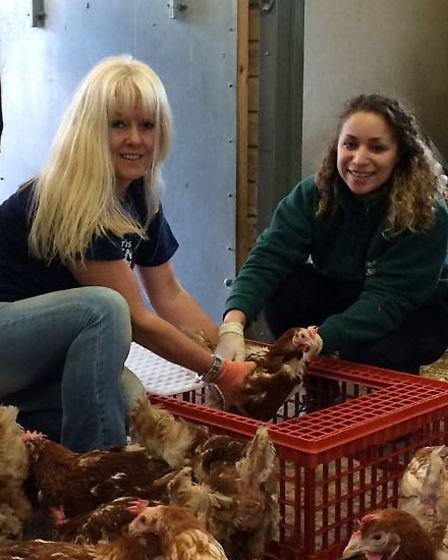 The hens were rescued from commercial conditions by Wood Green and the British Hen Welfare Trust.