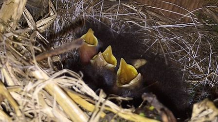 Baby robins hatching out at Mountfitchet Castle