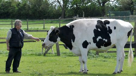 Pigeons Farm, Thorney. Chocolate drop the 17 hands high cow. Owner Bob Moore with chocolate drop. Pi