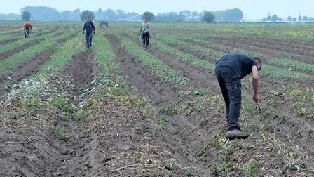 Asparagus picking at Avelings Farm , Coldham. Picture: Steve Williams.