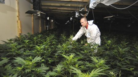 Hundreds of plants were discovered at a cannabis factory, in Regal Lane, Soham, in 2014.