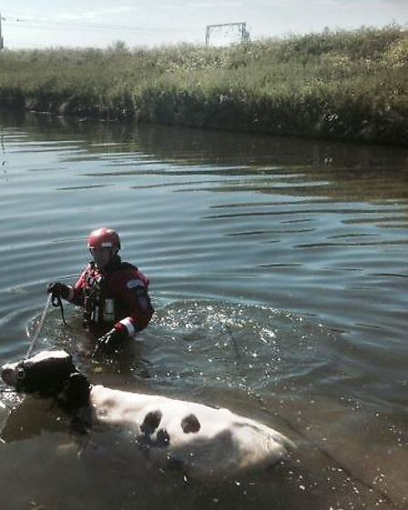 Firefighters rescuing the cow from the River Great Ouse near Stretham. Picture: CAMBS FIRE AND RESCU
