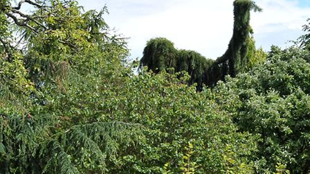 Diana's tree of main road, Elm, has grown to look like a giant ostrich, Picture: Steve Williams.