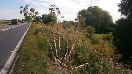 Giant hogweed growth on A47 prompts calls for eradication
