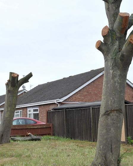 Otago close Whittlesey. Pollarded Trees. Picture: Steve Williams.