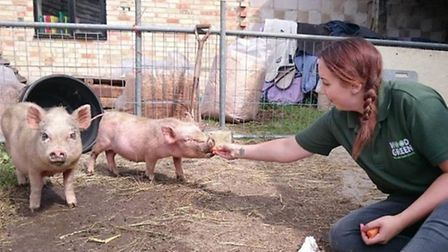 Wood Green, The Animals Charity. No such thing as 'teacup' pigs, says charity.