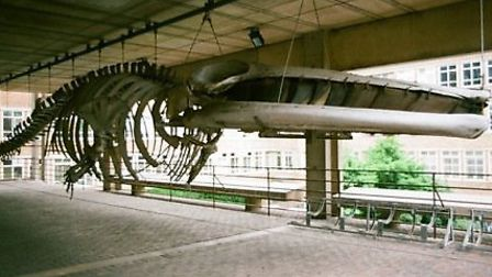 Fin whale skeleton at Cambridge Zoology Museum