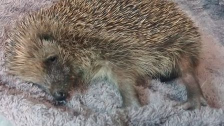 This hedgehog was brutally attacked.