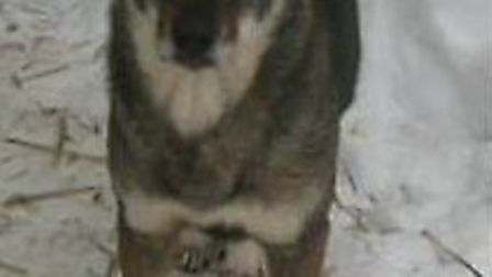 Traumatised street dog Lizuca is lost in the Tilney All Saints area