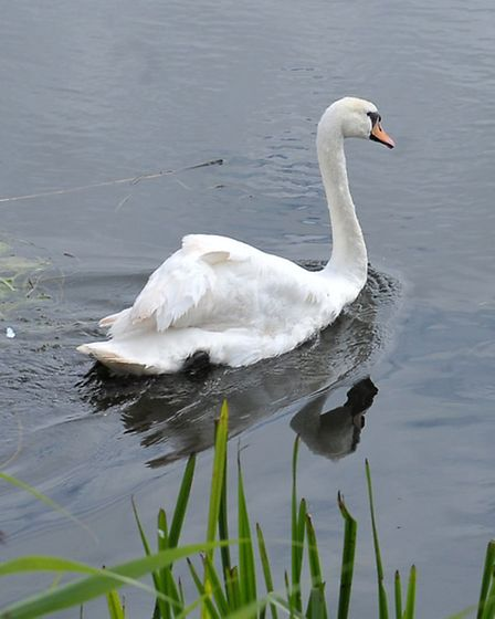 RSPCA Insp Jon Knight by the River Nene March with the shot swan being returned to wild. The swan ha