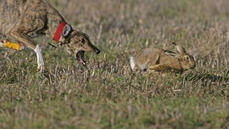 A hare being chased by a dog.