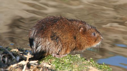 Water voles on local drains, Hundred of Wisbech Internal Drainage Board