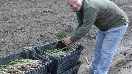 Asparagus picking at Avelings Farm , Coldham. Asparagus grower Will Aveling with a picked crop ready