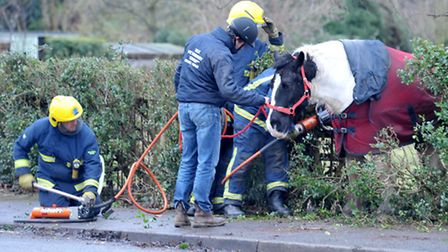 Horse stuck on fence , Picture: Steve Williams.
