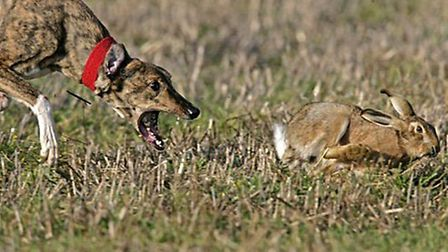 12 november 2015 - four men arrested then released due to lack of evidence - for suspected hare cour