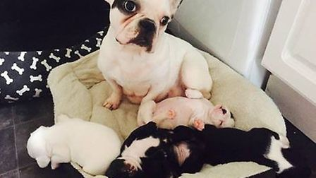 The mother French bulldog which was stolen along with her female puppy is stolen from Wisbech. The t