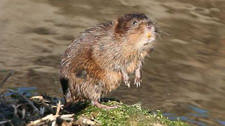 A water vole in the Fens