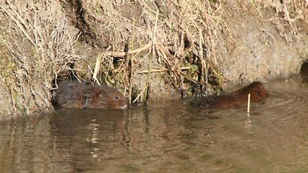 Water voles are thriving in the Fens