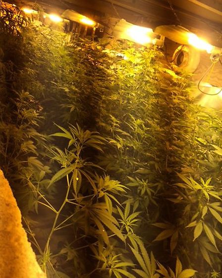 Some of the 300 plants discovered at a home in Soham