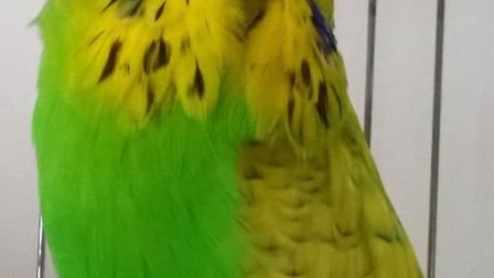 Lost Budgie in Ely