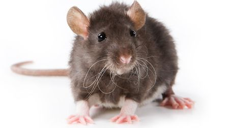 Rats are being blamed for hold-ups on the A120 near Stansted