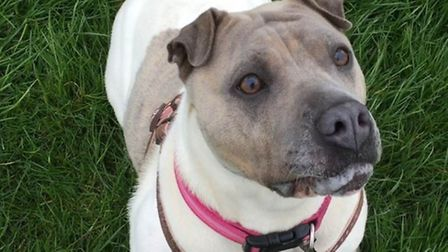 Kira the Sharpei cross is looking for a new home