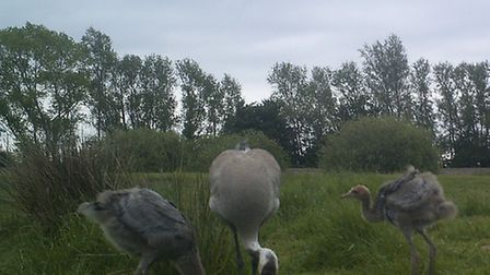 Adult crane with two chickes (Photo: RSPB)