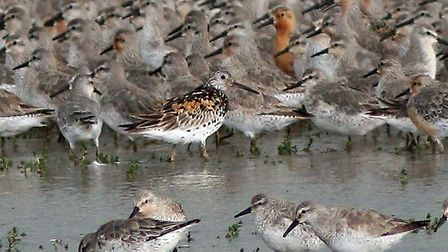 Great knot spotted at Titchwell