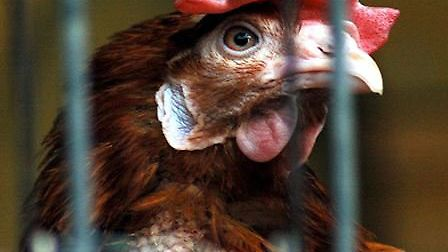 Can you give a battery hen a new happy life