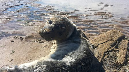 Seal up is rescued at Hunstanton