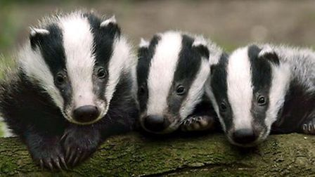 Badgers are being moved out of their setts to new homes amid fears their burrowing could destroy flo