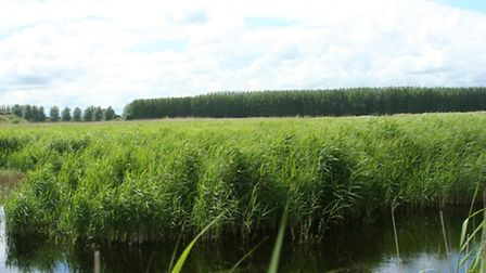 Young-Reed-bed