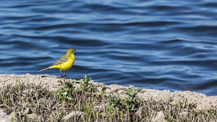 The Yellow Wagtail. Photo: Roger Rawson/WWT
