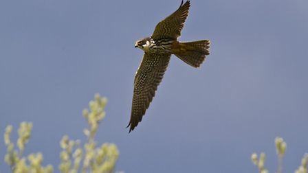 The Hobby, which has been spotted at WWT Welney Wetland Centre. Photo: Simon Stirrup/WWT