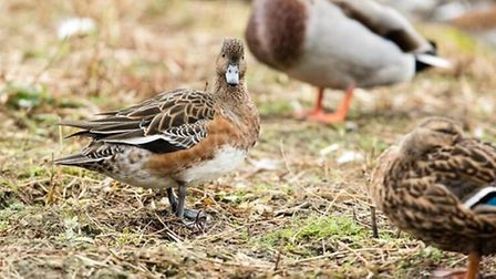 Wigeon in summer