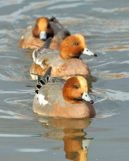 Wigeon males in winter.