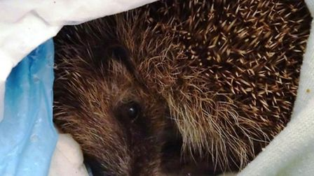 One of the rescued hedgehogs at Suzann'es Rescue at Walpole St Peter