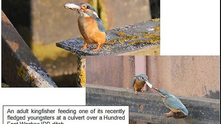 Kingfishers are thriving among the Middle Level Drain riverbanks