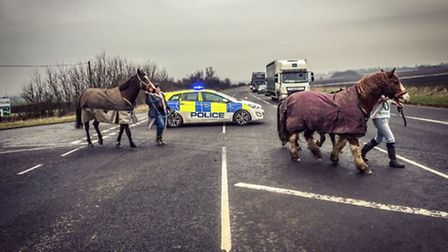 Horses rescued from the A141 March by-pass at Knights End Road this morning