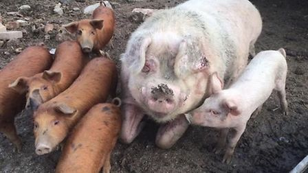 15 pigs have been rescued from slaughter thanks to the Fenland Animal Sanctuary - but money is still