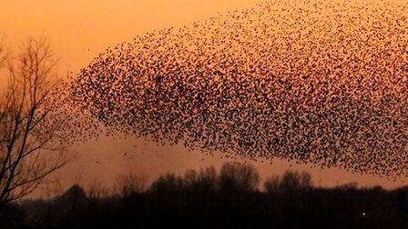 Breathtaking images of a murmuration of starlings over Wicken Fen in 2016. PHOTO: Michael Hoare.