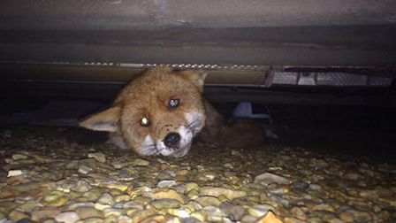 This fox was left unable to walk after being hit and trapped by a car. Fenland Animal Rescue came to