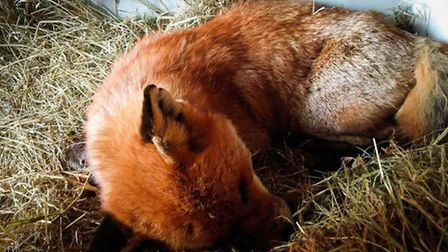 Mr Fox is now on the road to recovery at the National Fox Welfare Society in Rushden. PHOTO: Fenland