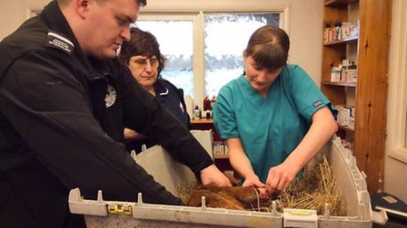 Staff from Fenland Animal Rescue and the Amical Vets in March rushed the Mr Fox's aid. PHOTO: Fenlan