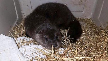 This otter was nursed back to full health after being found lying in a road in Whittlesey in Decembe