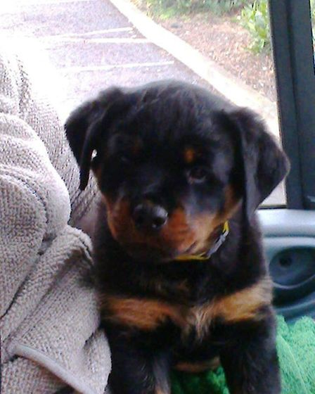Wilma the eight week old Rottweiler puppy, who was stolen from a van belonging to Elm couple James a