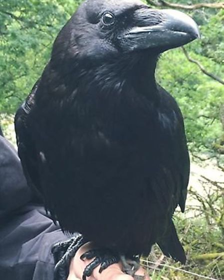 Sirius the raven from Exotic Animal Encounters, Whittlesey PHOTO: Exotic Animal Encounters