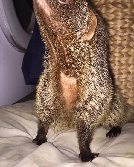 A mongoose from Exotic Animal Encounter Whittlesey PHOTO: Exotic Animal Encounter