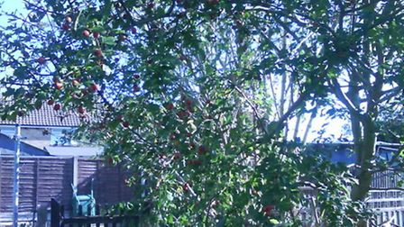 This is Carol Bartlett's garden bush before it was uprooted by contractors